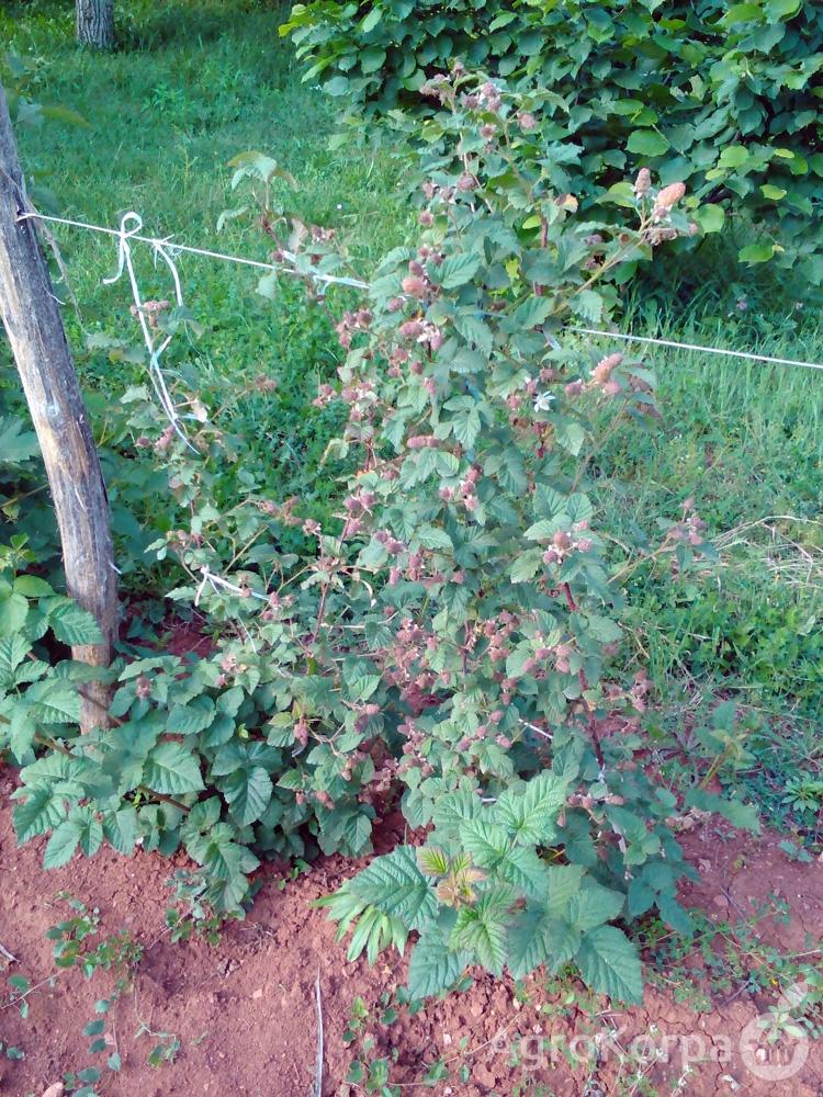 Tajberi (Tayberry) sadnice