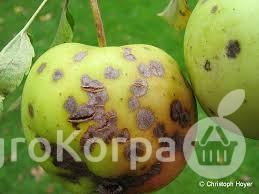 krastavost ploda jabuke