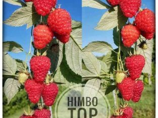 Himbo top malina sadnice