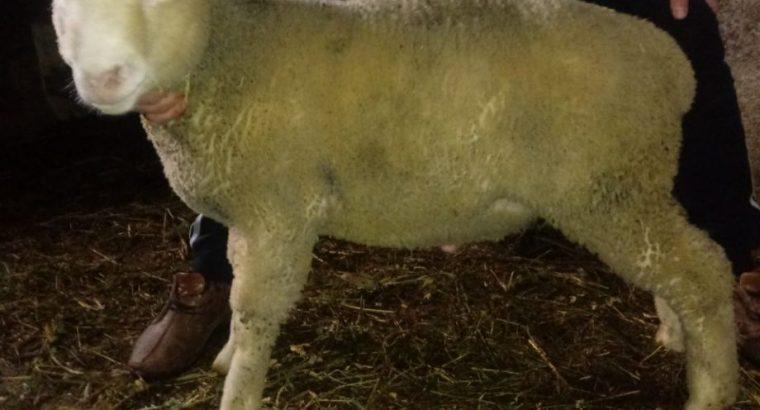 Ile de France umaticeno musko jagnje bliznace