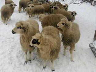 Sjenička ovca