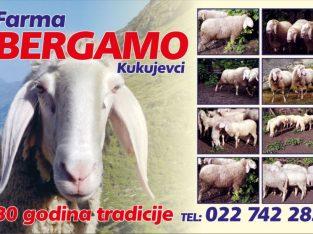 Bergamo ovce i jaganjci na prodaju