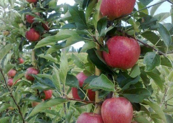 Jabuke u gajbicama, rukom brane