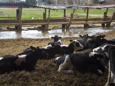 Kupovina i prodaja teladi, junadi i muznih krava!