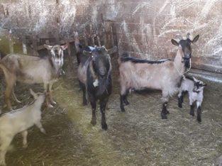 5 koza rase Alpina – cena 150e za sve