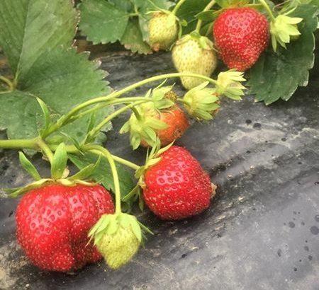 sadnice stalnorađajućih jagoda