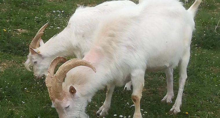 Sanske koze