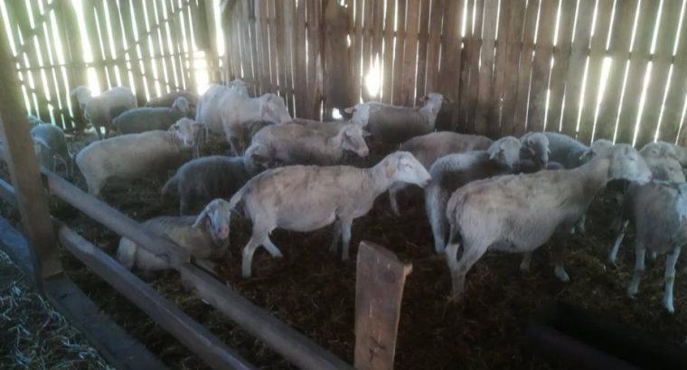 Umaticeno stado ovaca rase virtemberg