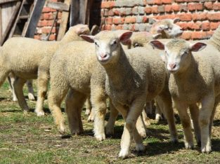 Na prodaju jagnjad rase Il de frans