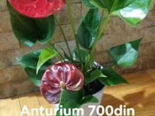 Veliki izbor sobnog cveća