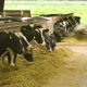 Radio bih na farmi muznih krava