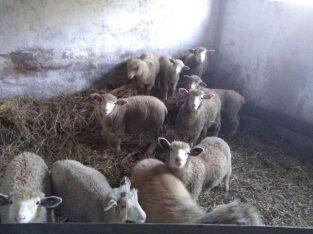 Ovce na prodaju