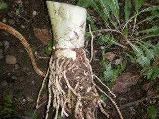 Kale – Lukovice, višegodišnje sadnice