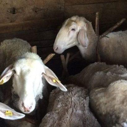Prodajem 7 ovaca i 4 jagnjeta
