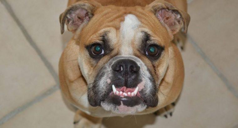 Da li i zašto psu treba prati zube?