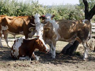 Krave na prodaju