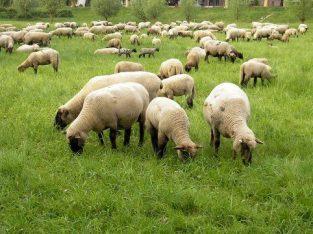 Prodajem stado od 24 ovaca