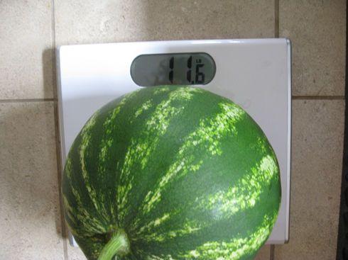 Merenje lubenice