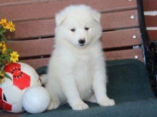 Lep Samoyed Pups potpuno zdrav