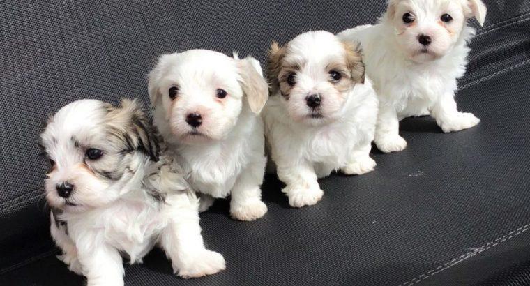 Ponosno štene kavachona dostupno