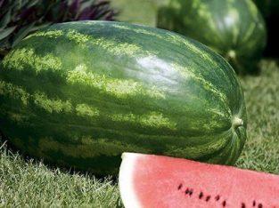 Prodajem lubenice na veliko