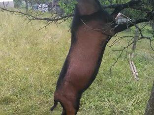 Na prodaju četiri umatičene koze i jarac