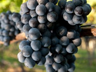 Vinsko grožđe