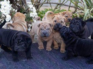 Sar pei štenci