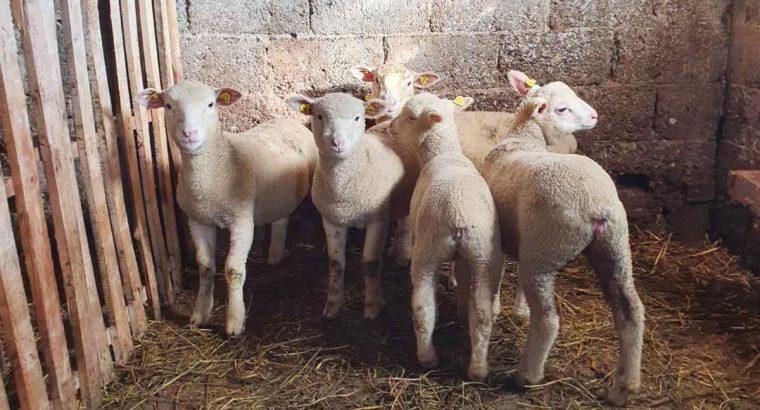 Ile de France umatičena jagnjad