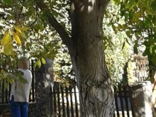 Poklanjam 6 neoborenih stabala oraha