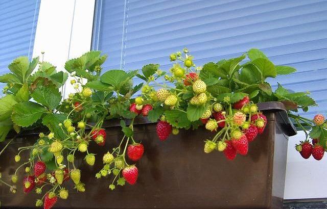 Sadnice stalnoradjajuce sorte jagoda
