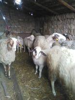 prodajem jagance i ovce