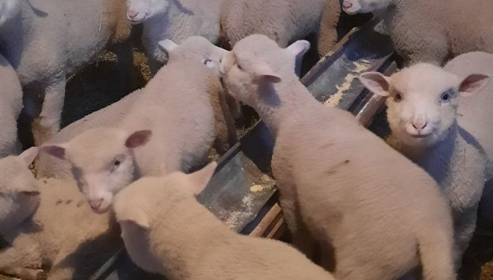 Prodajem jagnjice i ovna