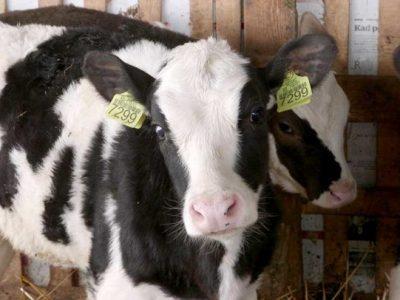 Krave, junice i telad na prodaju