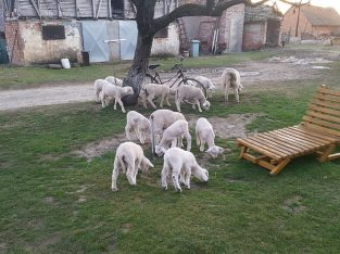 Prodajem 20 ovaca 20 jaganjaca i 3 ovna