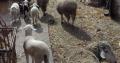 Prodajem celo stado ovaca sa jagnjićima