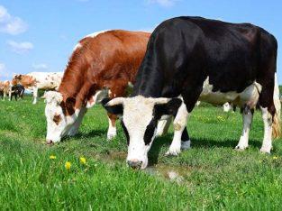 Radnik na farmi krava